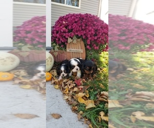 Cavalier King Charles Spaniel Puppy for Sale in MAUSTON, Wisconsin USA