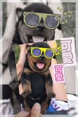 Rottweiler Puppy For Sale in TEMPE, AZ, USA