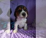 Small #16 Beagle