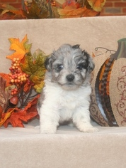 Aussiedoodle Puppy For Sale in LAWRENCEBURG, IN