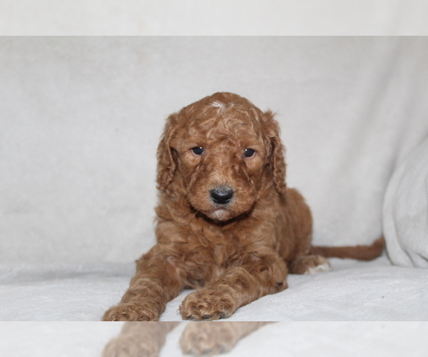 Medium Photo #3 Goldendoodle Puppy For Sale in FRESNO, OH, USA