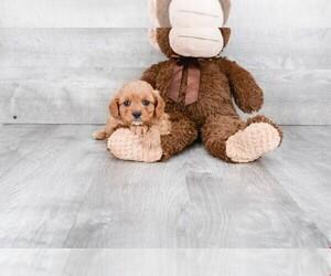 Cavalier King Charles Spaniel-Poodle (Toy) Mix Dog for Adoption in CLEVELAND, North Carolina USA