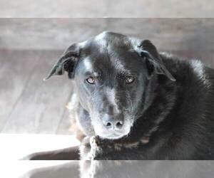 Labrador Retriever Dog for Adoption in NAPLES, Florida USA