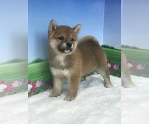 Shiba Inu Puppy for sale in MANHATTAN, NY, USA