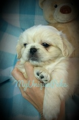 Pekingese Puppy for sale in LEESVILLE, SC, USA