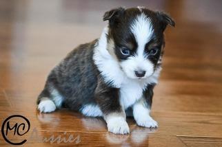 Miniature Australian Shepherd Puppy For Sale in OAKLEY, KS, USA