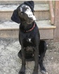 Labrador Retriever-Unknown Mix Dog For Adoption in TUSCALOOSA, AL, USA