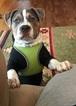 Tri Color Pitbull Puppy