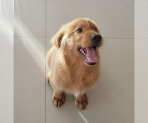 Golden Retriever Puppy for sale in SAN DIEGO, CA, USA