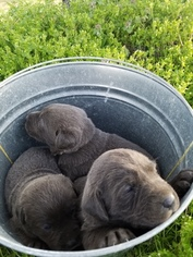 Labrador Retriever Puppy For Sale in LEBANON, MO, USA