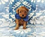 F1b Cavapoo Puppy