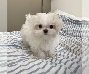 Maltese Puppy for Sale in LOS ANGELES, California USA