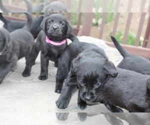 Puppies For Sale Near Avon Colorado Usa Page 1 10 Per