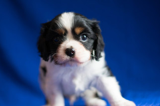 Cavalier King Charles Spaniel Puppy For Sale in KENT, OH, USA