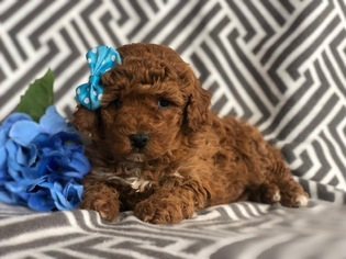 Poodle (Toy) Puppy for sale in EAST EARL, PA, USA