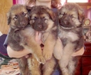 German Shepherd Dog Puppy For Sale in CLEAR BROOK, VA, USA