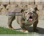 Bulldog Puppy For Sale in MURRIETA, CA, USA