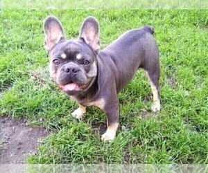 Father of the French Bulldog puppies born on 09/04/2019