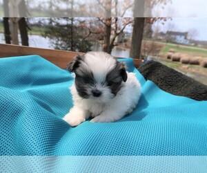 Shih Tzu Dog for Adoption in SOUTH BEND, Indiana USA
