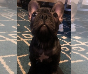 French Bulldog Puppy for sale in MOORE, OK, USA