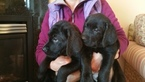Labrador Retriever Puppy For Sale in BANGOR, ME, USA