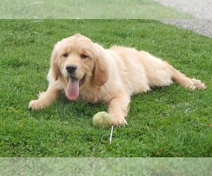 Golden Retriever Puppy for Sale in FREDERICKSBG, Ohio USA