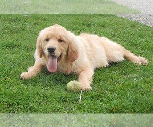 Golden Retriever Puppy for sale in FREDERICKSBG, OH, USA