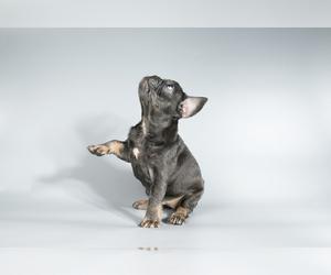 French Bulldog Puppy for Sale in SEATTLE, Washington USA