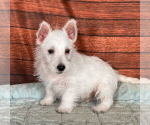 West Highland White Terrier Puppy for sale in PENNS CREEK, PA, USA