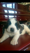 Saint Bernard Puppy For Sale in ELM CREEK, Nebraska,
