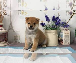 Shiba Inu Puppy for sale in CHICAGO, IL, USA