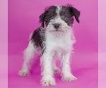 Puppy 11 Schnauzer (Miniature)