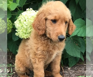 Goldendoodle Puppy for sale in JEFFERSON, MD, USA