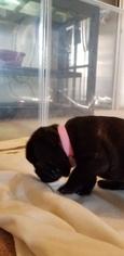 Black Female French Bulldog Puppy