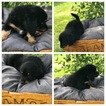 Bernedoodle-Poodle (Toy) Mix Puppy For Sale near 55372, Prior Lake, MN, USA