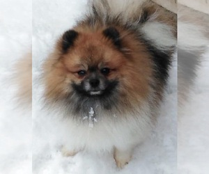Mother of the Pomeranian puppies born on 08/25/2019