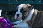 Beabull Puppy For Sale in LEETONIA, OH, USA