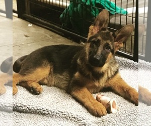 German Shepherd Dog Puppy for Sale in DOVER, Ohio USA