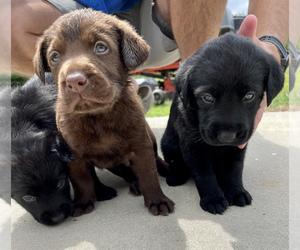 Labrador Retriever Dog for Adoption in REIDSVILLE, Georgia USA