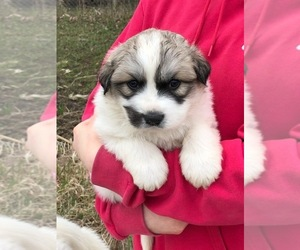 Great Pyrenees Puppy for sale in HUBBARD, IA, USA