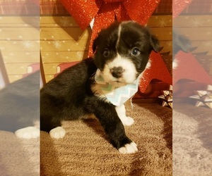 Australian Shepherd Puppy for sale in JEFFERSON CITY, MO, USA