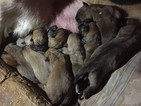 Anatolian Shepherd Puppy For Sale in RUTHERFORDTON, NC, USA