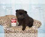 Small #13 Pomeranian