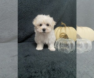 Maltipoo Puppy for sale in BEECH GROVE, IN, USA