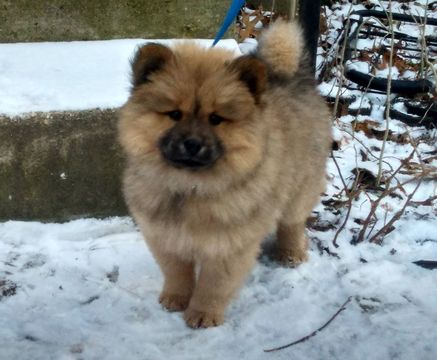 pomeranian chow view ad chow chow pomeranian mix puppy for sale maryland silver 3187
