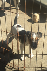 Jack Russell Terrier Puppy For Sale in CLOVER, SC