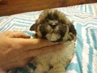 Maltipoo Puppy For Sale in WETUMPKA, AL, USA