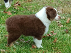 Miniature Australian Shepherd Puppy For Sale in TEN MILE, TN