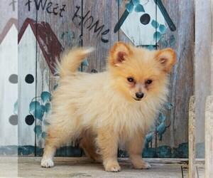 Pomeranian Puppy for sale in CEDAR LANE, PA, USA