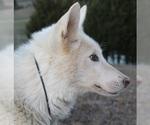 Small #10 Wolf Hybrid